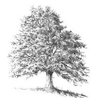 how to draw trees traditional drawing tutorial pxleyes com