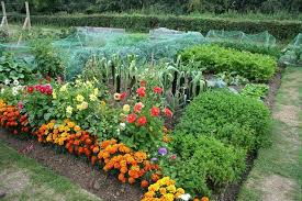 where to plant marigolds in vegetable garden table designs