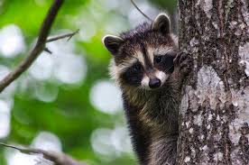 scientists used a fable to test the cognitive abilities of raccoons