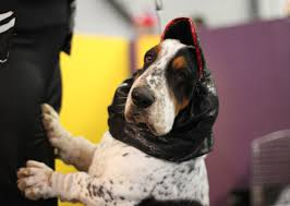 australian shepherd 2015 westminster westminster dog show 2015 exclusive backstage photos