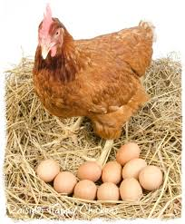 How Long Can Cooked Chicken Sit At Room Temperature - storing fertile chicken eggs five steps to your success
