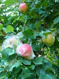 growing apples in home garden