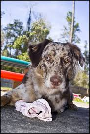 australian shepherd double merle musings of a biologist and dog lover identifying merle