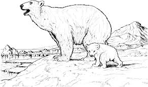 drawn polar bear polor pencil and in color drawn polar bear polor