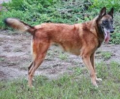 belgian sheepdog breeders pa past litters