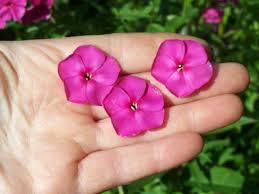 Phlox Flower Phlox U0027hot September Pink U0027 Perennial Pleasures Nursery Phlox