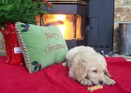 goldendoodle puppy treats brights doodles n poodles goldendoodles