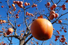 le si e de siamo nel periodo dei cahi o pomi che dir si voglia l albero