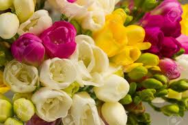 blooming flowers vibrant multicoloured fresh freesias blooming flowers stock