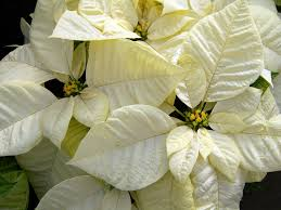 christmas plants archives kremp florist blog