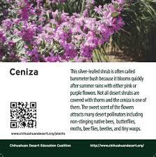 chihuahuan desert native plants cdec