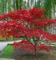 Small Trees For Backyard by Top 10 Trees For Small Spaces Japanese Maple Leaves And Small Trees