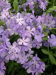 phlox flower phlox blue moon bluestone perennials