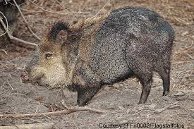 New Mexico wild animals images Outdoors nm wild hogs invade new mexico threaten to wreak havoc jpg