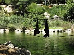 Tisch Family Zoological Gardens - apes picture of tisch family zoological gardens biblical zoo