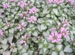 Fragrant Plants For Shade - best perennials for shade gardens in the pacific northwest