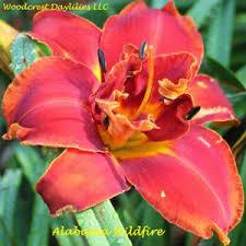 daylilies for sale woodcrest daylilies llc daylilies for sale