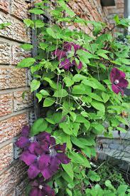 plant tixeretne