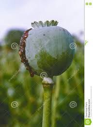 Opium Opium Poppy Opium Field Papaver Somniferum Stock Photo Image