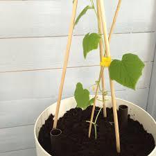 Trellis For Cucumbers In Pots Growing Cucumbers Indoors Growerflow