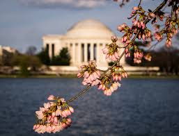 Cherry Blossom Tree Facts by Bees And Cherry Blossoms In D C A Mutually Beneficial
