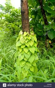 in monsoon climbing plants climb on tree trunks in the forest