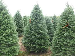 tree photos balsam fir pole trees tel