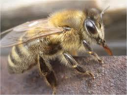 u0027re honey bees bee mentor beekeeping native bees
