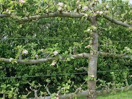 how to grow trees sideways new zealand handyman magazine