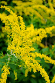 nebraska native plants the goldenrod is the state flower of nebraska nebraska ne