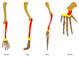 comparative anatomy wikipedia