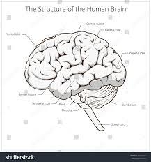 brain anatomy coloring book structure human brain schematic vector illustration stock vector