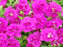 bright beautiful flowers for a colorful garden hgtv