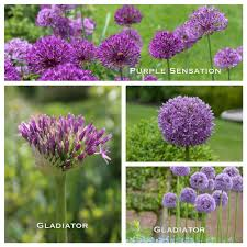 allium garden design bountiful blooms
