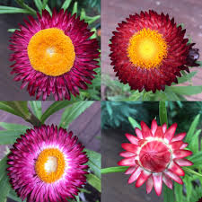 small australian native plants these are paper daisies an australian native plant i grew them