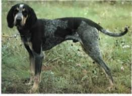 videos of bluetick coonhounds bluetick coonhound puppies and dogs for sale in usa