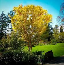 123 best japanese maple trees images on japanese maple