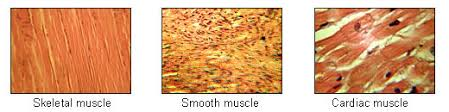 Anatomy And Physiology The Muscular System Human Physiology The Muscular System Wikibooks Open Books For