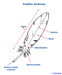 drawn feather step by step pencil and in color drawn feather
