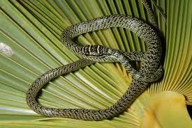 Blind Snake Hawaii Young U0027flying Tree Snake U0027 Captured On Oahu Big Island Now