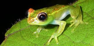 killer frog fungus could actually help amphibians survive disease