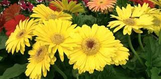 gerbera daisies how to grow gerbera daisies from seed today s homeowner