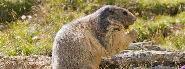 gatlinburg groundhog removal control trapping groundhogs