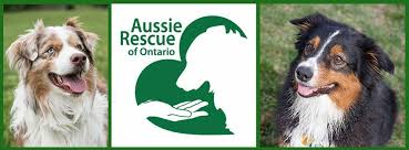 royal 8 australian shepherds australian shepherd rescue of ontario aroo home facebook