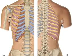 8 muscles of the spine and rib cage musculoskeletal key