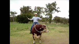 hereford prime u0027s hank the hereford bull wmv youtube