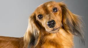 afghan hound of america dachshund dog breed information american kennel club
