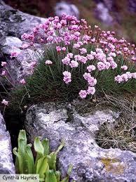 best 25 rock garden plants ideas on pinterest rock plants