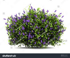 Lilac Flower by Lilac Flowers Bush Isolated On White Stock Illustration 97646831