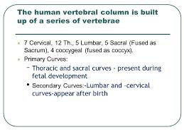 Human Vertebral Column Anatomy Vertebral Column Ppt Video Online Download